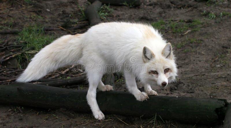 狐狸白色 免版税库存图片