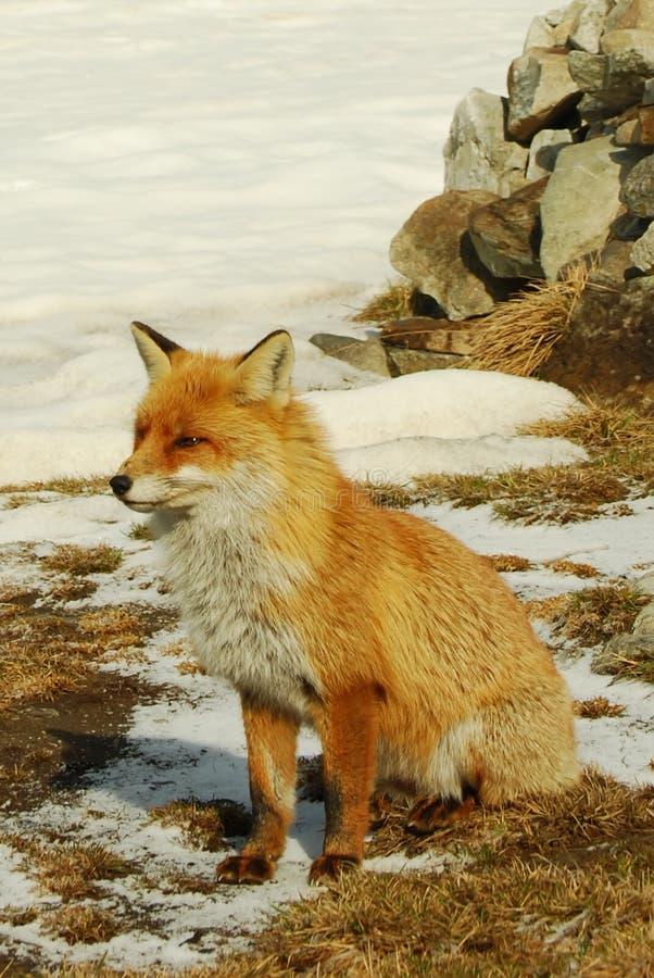 狐狸红色通配 免版税库存照片