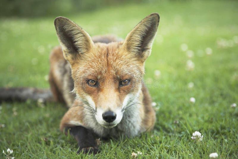 狐狸红色都市 库存图片