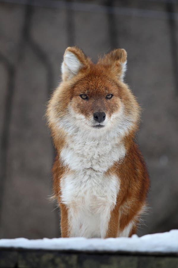 狐狸纵向 图库摄影