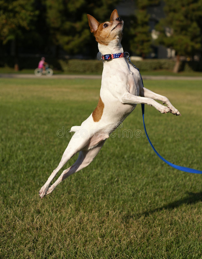 狐狸跳的狗玩具 库存图片