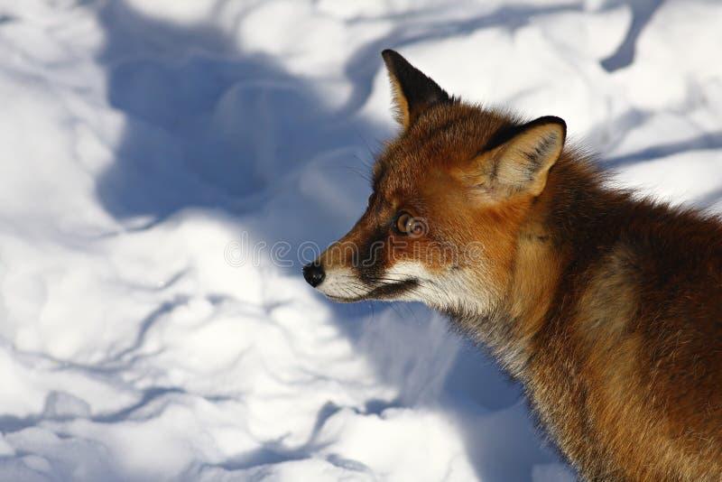 狐狸 库存照片