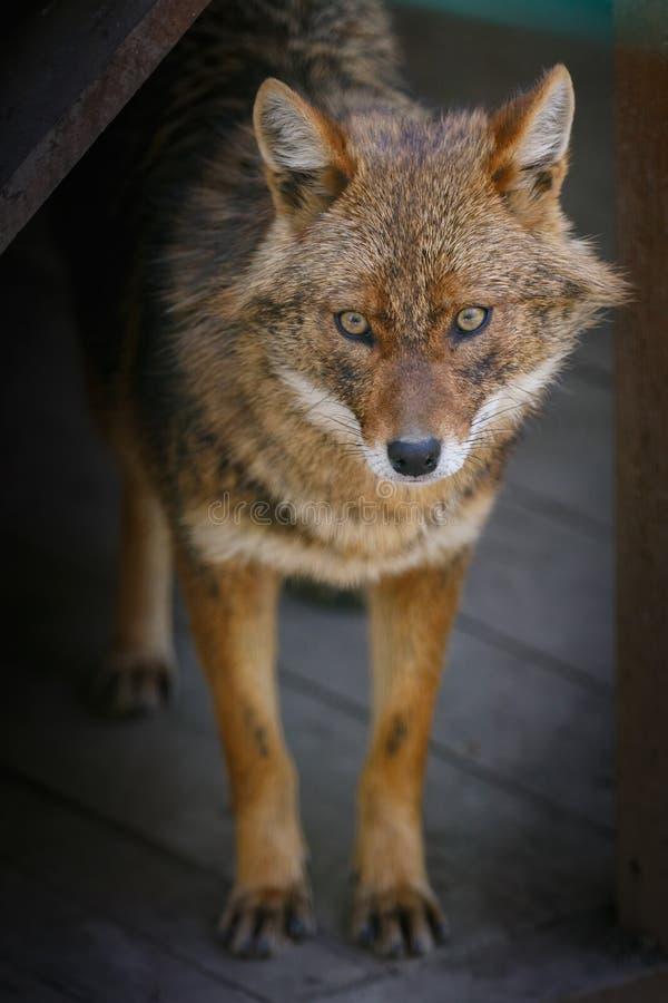 狐狼在一个木平台站立在小屋附近 库存照片