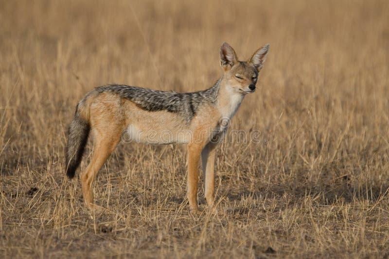 狐狼 库存图片