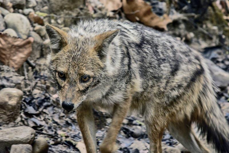 狐狼 库存照片