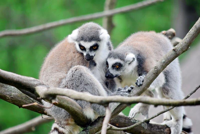 狐猴卡塔夫妇在分支的 库存照片