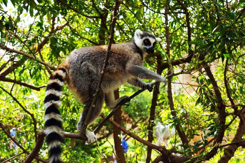 狐猴在一个晴天爬一棵树 库存照片