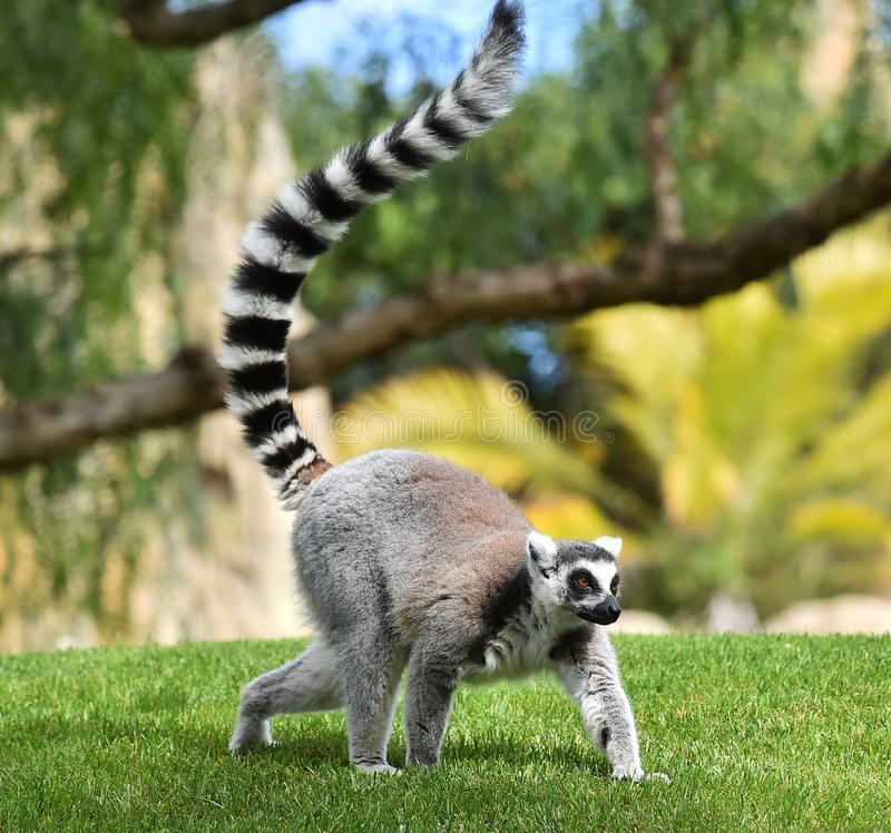 狐猴在马达加斯加 图库摄影