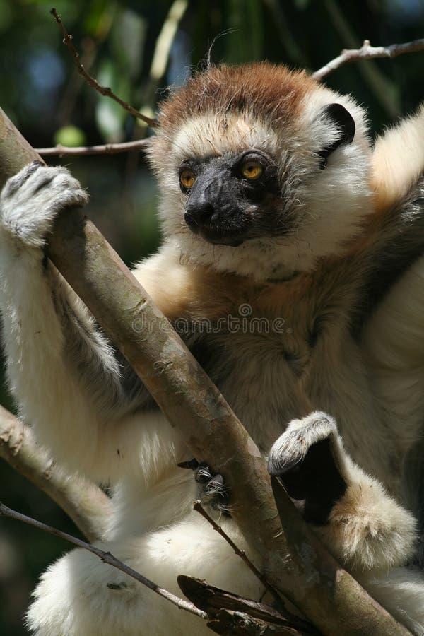 狐猴通配马达加斯加的sifaka 免版税库存照片