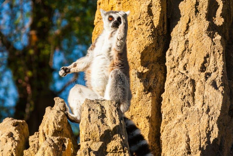 狐猴马达加斯加 图库摄影