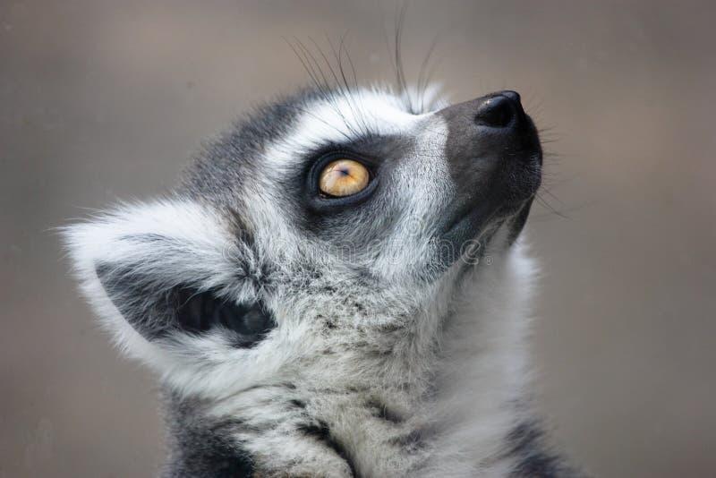 狐猴马达加斯加 免版税库存照片