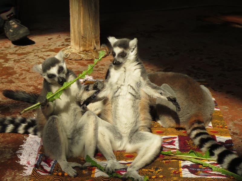 狐猴 滑稽的狐猴 狐猴在阳光下 库存照片