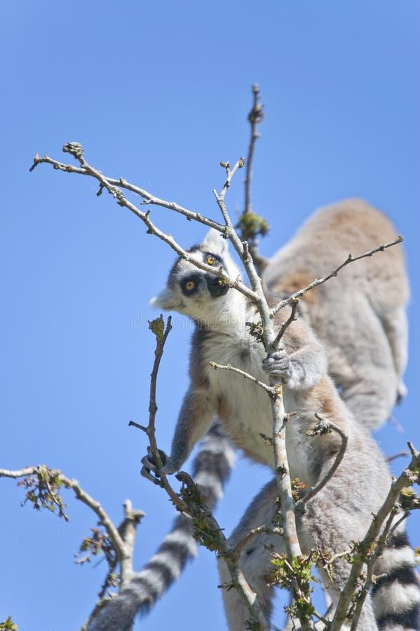 狐猴 免版税图库摄影