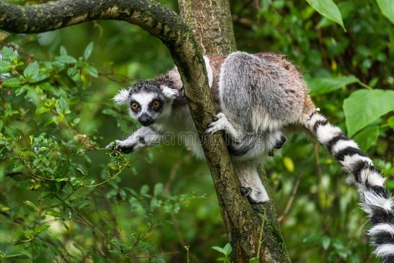 狐猴catta在动物园里 免版税库存照片