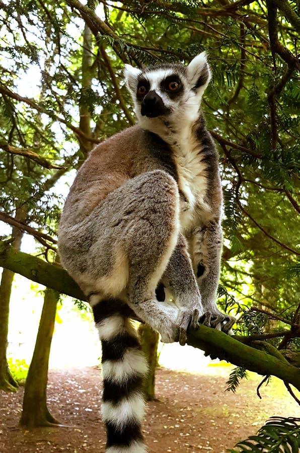 狐猴fota野生生物公园爱尔兰 库存图片