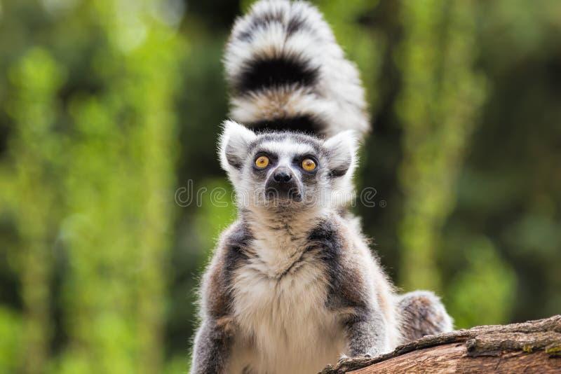 狐猴的画象 免版税图库摄影