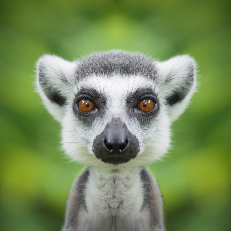 狐猴面孔关闭 免版税图库摄影