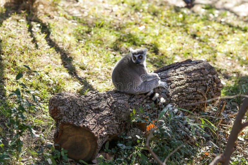 狐猴 图库摄影