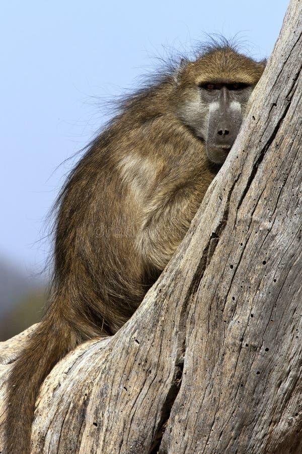 狒狒博茨瓦纳chacma 库存图片