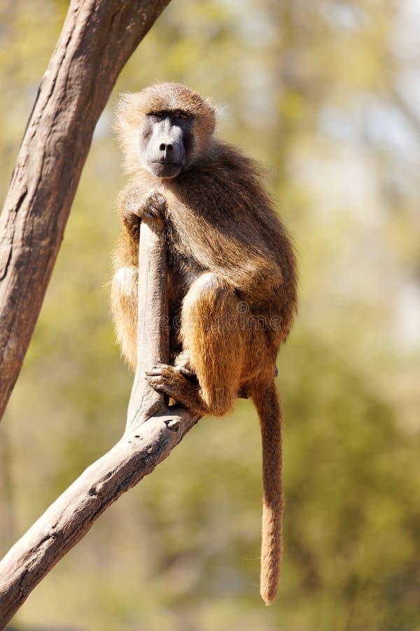 狒狒原野 免版税库存图片