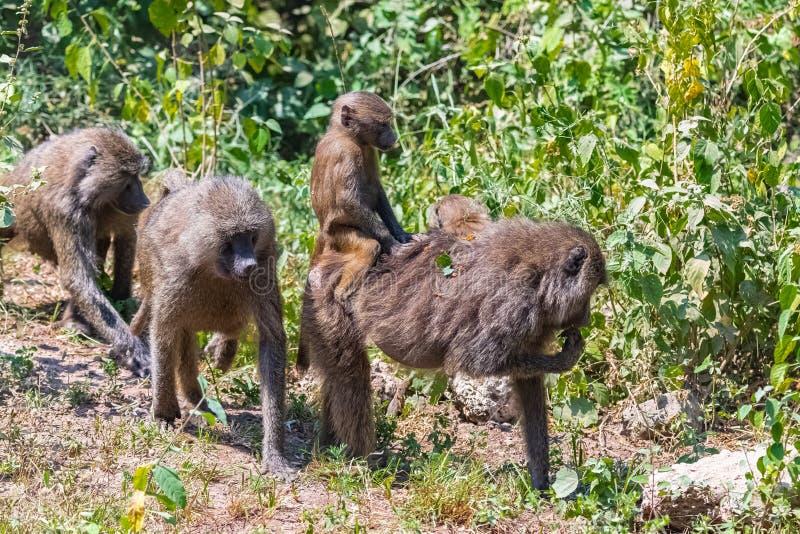 狒狒在森林里在坦桑尼亚 免版税库存照片
