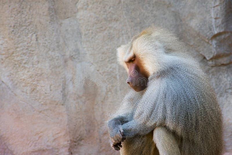 狒狒在沈默坐一好日子|preY~er 免版税库存照片