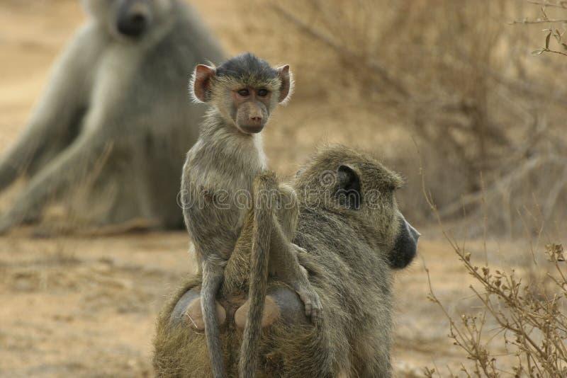 狒狒婴儿 免版税图库摄影
