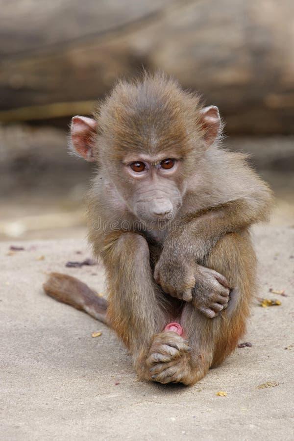 狒狒婴孩 免版税图库摄影