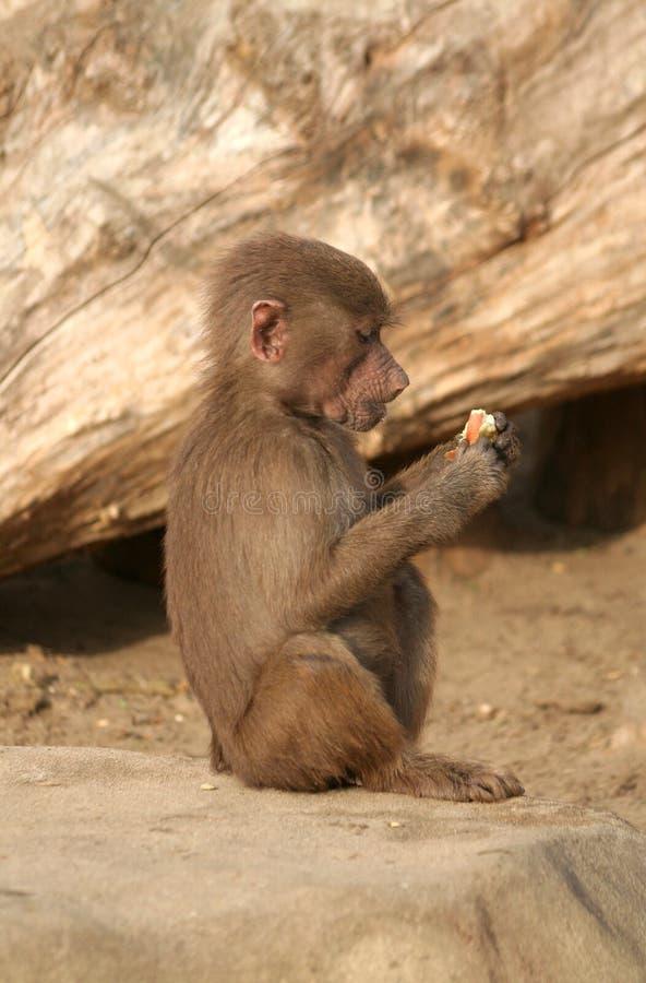 狒狒年轻人 免版税库存图片