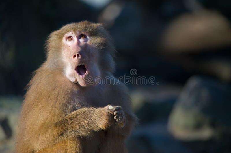 狒狒滑稽的猴子 免版税库存图片