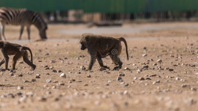 狒狒狗头畸形papion画象  免版税图库摄影