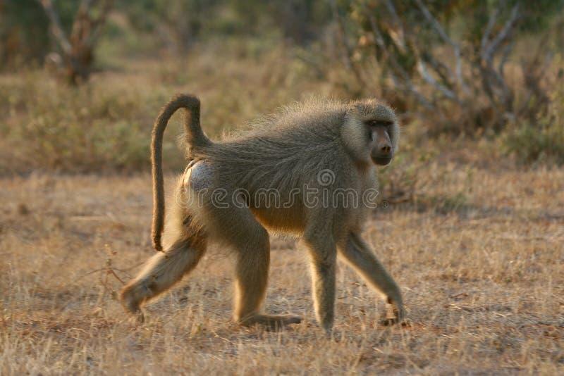 狒狒黄色 库存照片