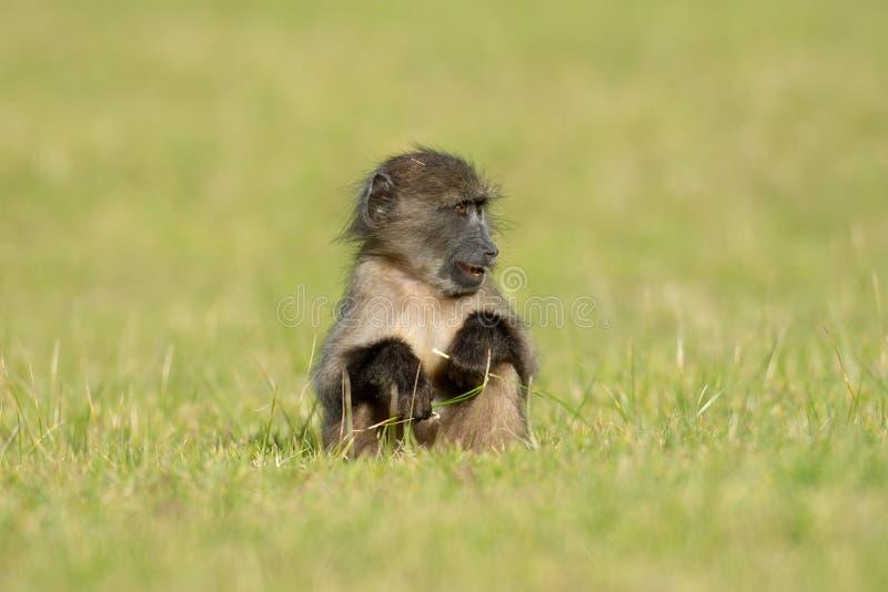 狒狒婴孩chacma 免版税库存照片