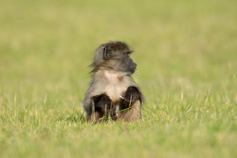 狒狒婴孩chacma 免版税库存图片