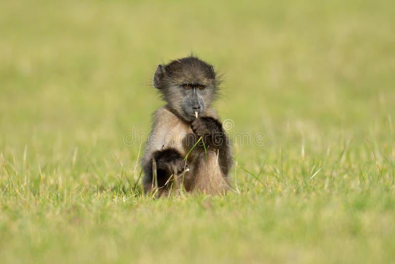 狒狒婴孩chacma 图库摄影