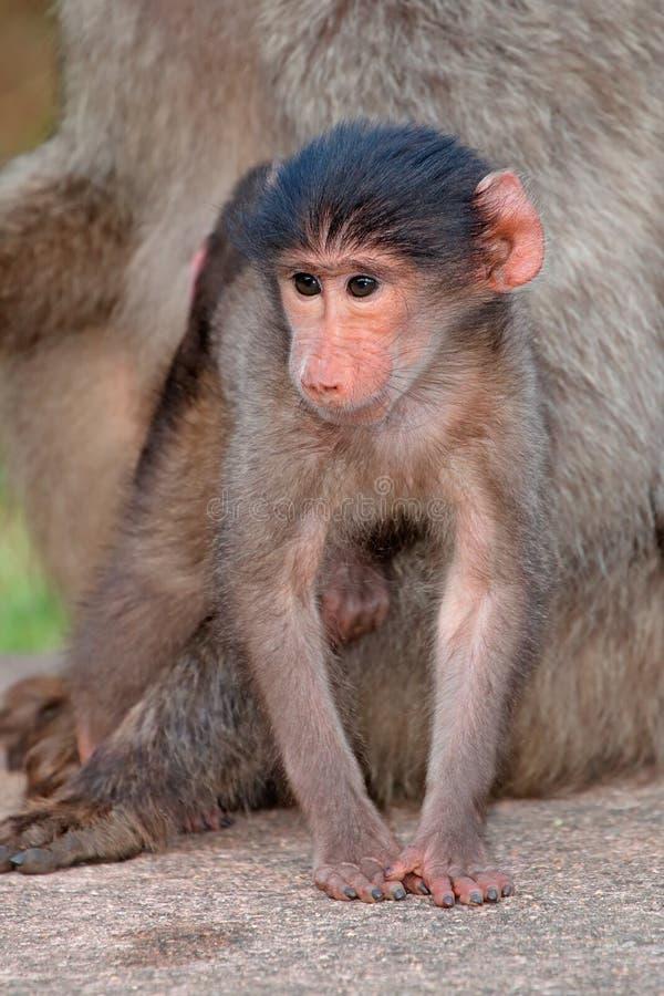 狒狒婴孩chacma 库存照片