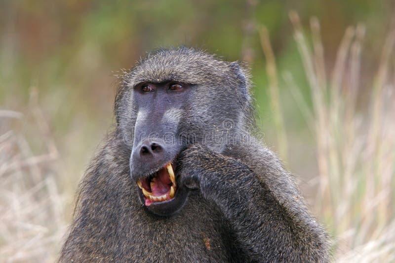 狒狒chacma 免版税库存照片