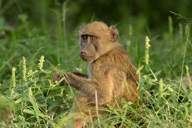 狒狒chacma 免版税图库摄影