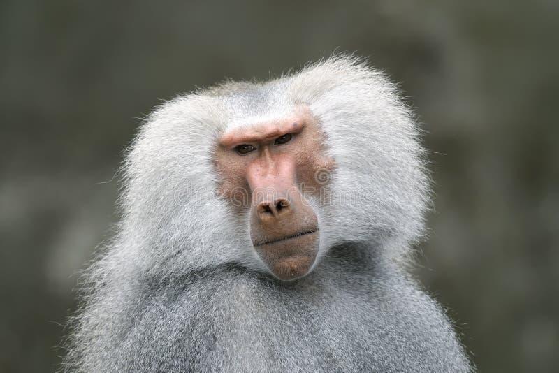 狒狒hamadryas狒狒 免版税库存图片