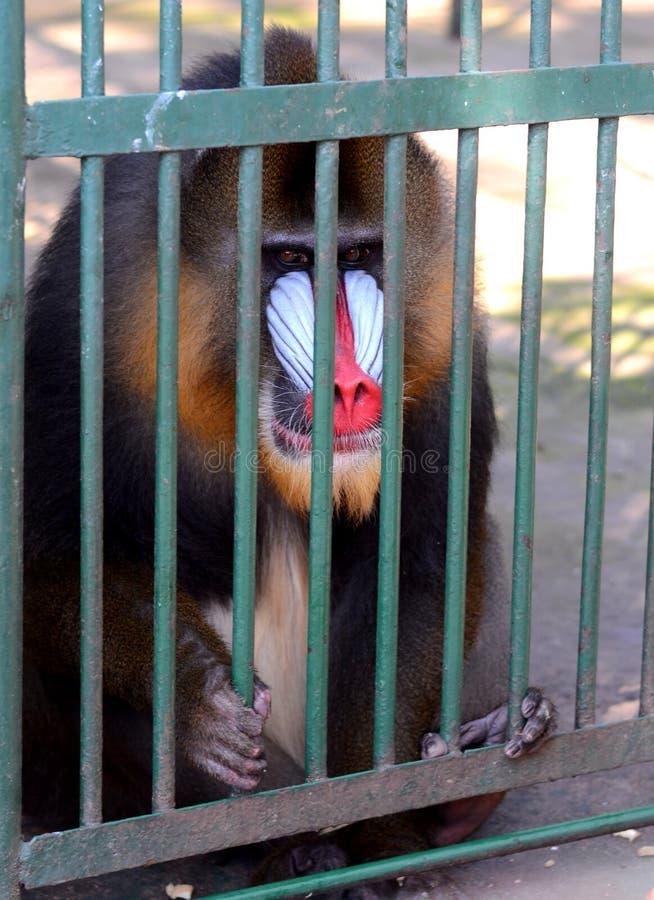 狒狒Hamadryl 库存图片