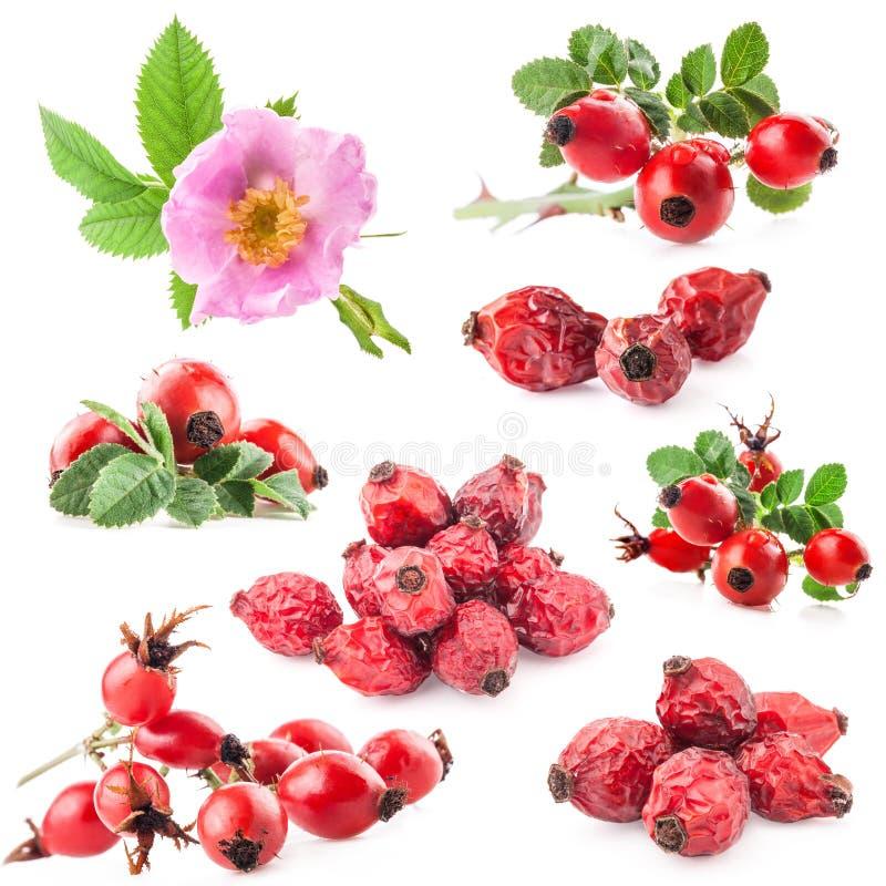 狗上升了(罗莎canina)花和果子 免版税库存图片