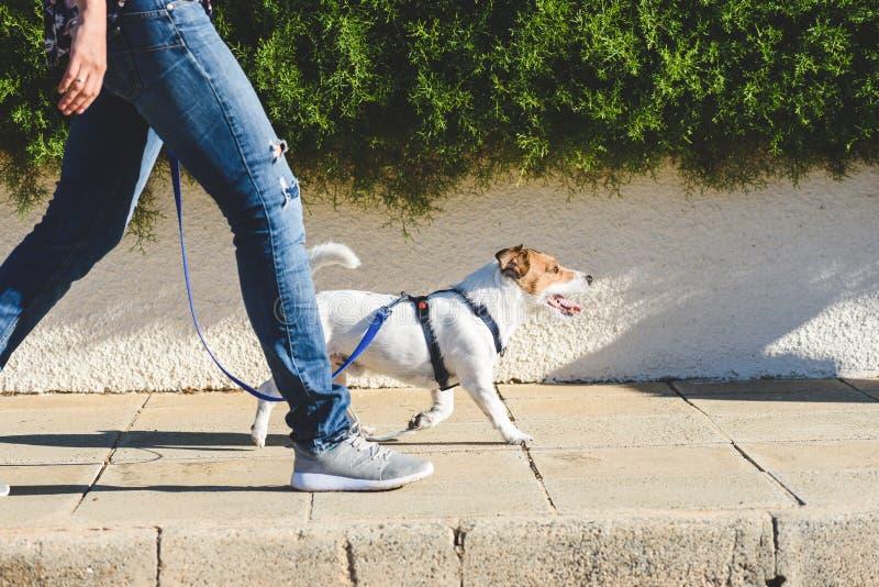狗与他的宠物的步行者大步在皮带,当走在街道路面时 免版税库存图片