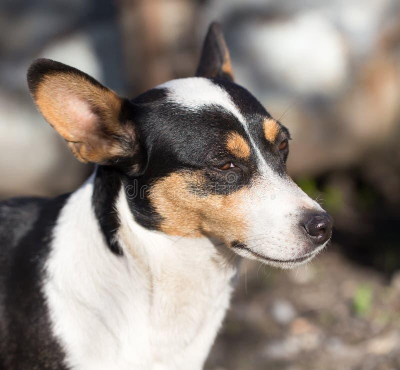 狗与斑点的` s面孔 图库摄影