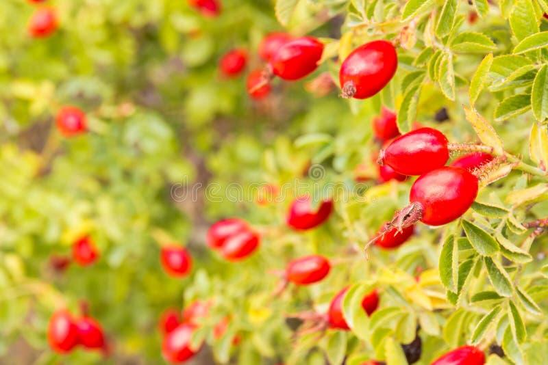 狗与裂口红色的玫瑰丛玫瑰果莓果 免版税库存图片