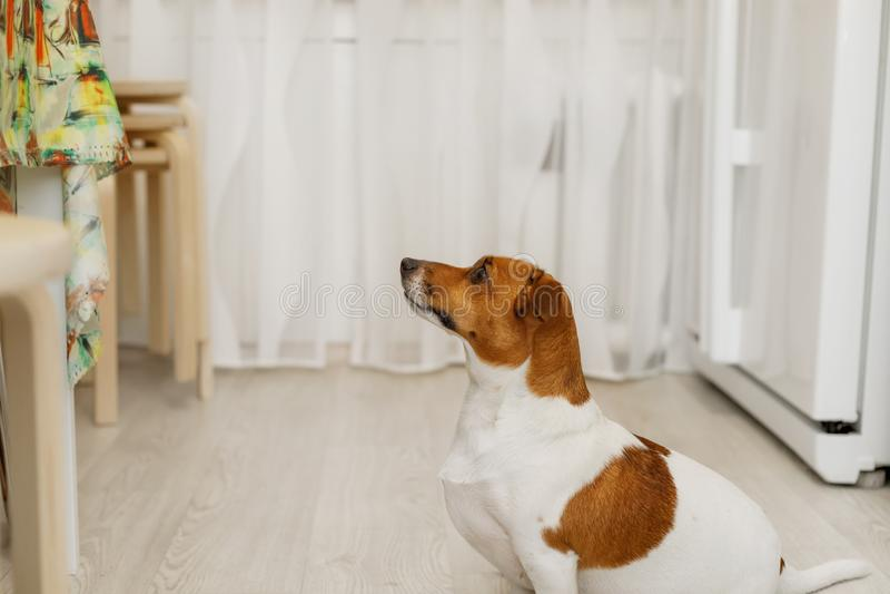 狗为从所有者的食物乞求 图库摄影