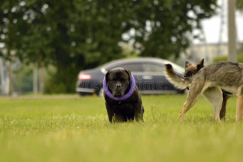 狗之间的互作用 动物的关于行为的方面 动物的情感 免版税库存图片