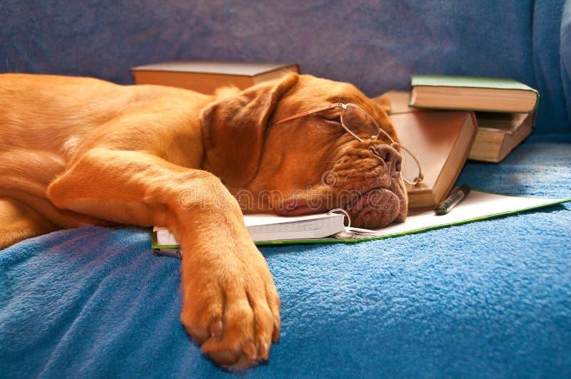 狗休眠 图库摄影