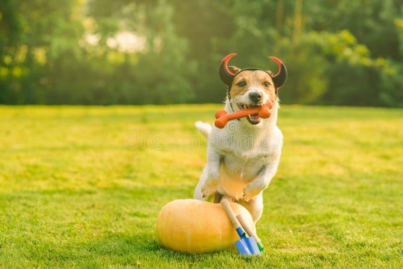 狗使用在新鲜的南瓜和园艺工具旁边的佩带的恶魔的垫铁 库存照片
