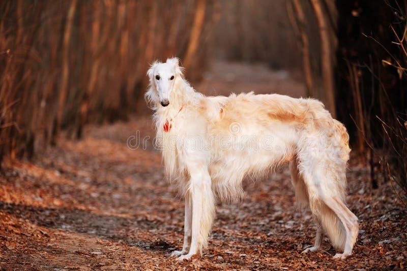 狗俄国俄国猎狼犬猎狼犬头,户外秋天时间 免版税库存图片