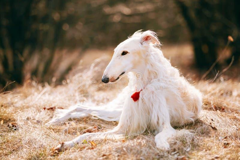 狗俄国俄国猎狼犬猎狼犬头,户外 库存照片